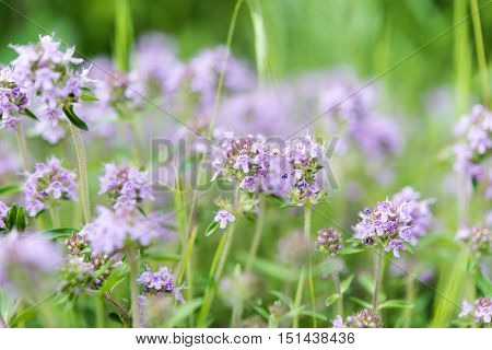 purple flowers growing in a meadow close-up