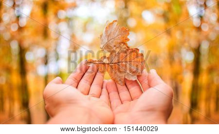 human hands catching falling leaves in autumn at sunset