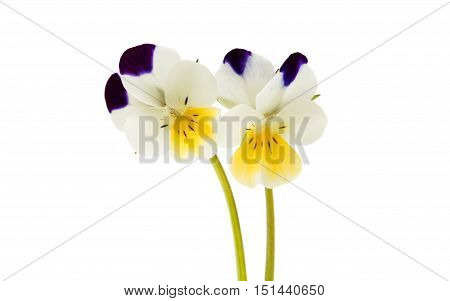 pansy summer flower isolated on white background