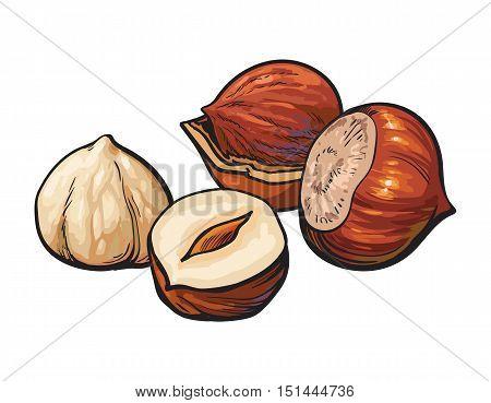 Whole and peeled hazelnuts, vector illustration isolated on white background. Drawing of hazel nuts on white background, delicious healthy vegan snack