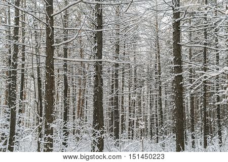 Winter forest. Many snow-covered pine trunks the grass under them and the white sky above..