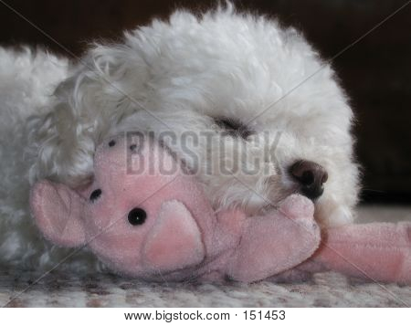 Toy Poodle With Pig