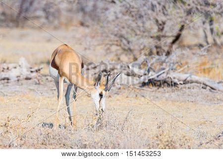 Springbok Grazing In The Bush. Wildlife Safari In The Etosha National Park, Famous Travel Destinatio
