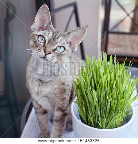 Pet grass, cat grass keeps your cat entertained and happy. Devon rex cat likes to eat cat grass