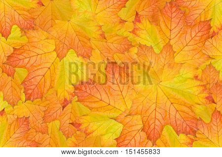 many maple leafs laying down background covers the entire image