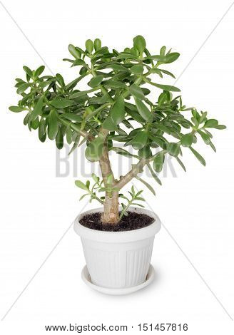 House plant Crassula in a flower pot on a white background