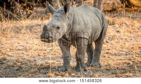 Starring Baby White Rhino.