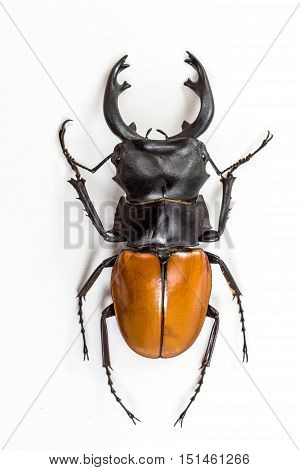 Stag Beetle (odontolabis Mouhoti ) Male Top View