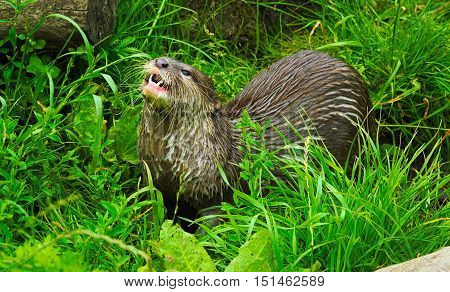 Asian short clawed otter eating in grass