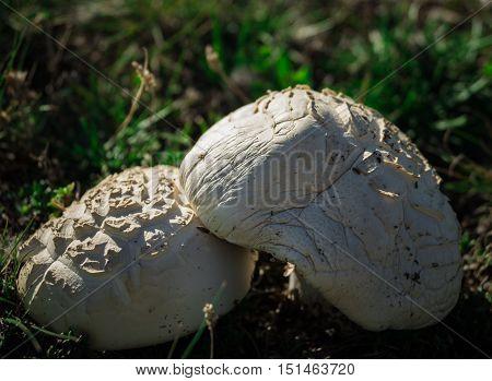 White mushroom growing in mountains.Tasty wild mushroom for cooking. Macro mushrooms.