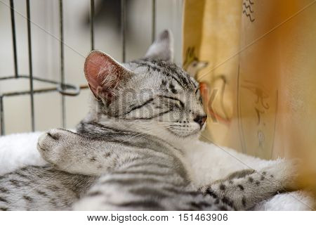 A wonderful Egyptian Mau sleeping and relaxing