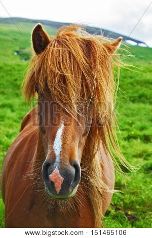 Portrait of a brown horse with light mane. Iceland in July. Farmer sleek horse