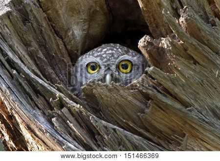 Spotted owlet Athene brama in tree hollow