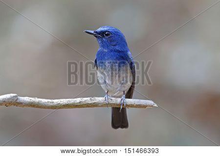 Hainan Blue Flycatcher Cyornis hainanus Male Birds of Thailand