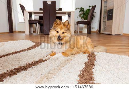 a Shetland Sheepdog lies on a carpet