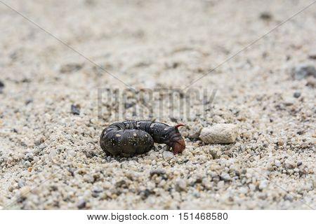 Hyles Gallii Caterpillar, Black Color Variant.