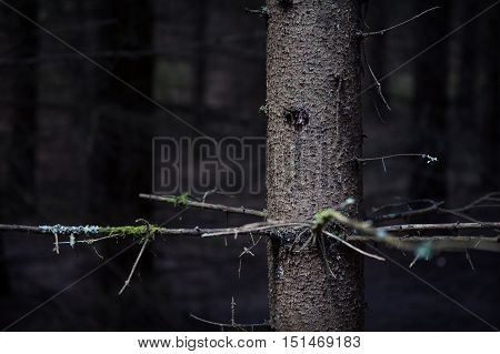 detail of trunk of old fir trees in the dense dark primeval forest