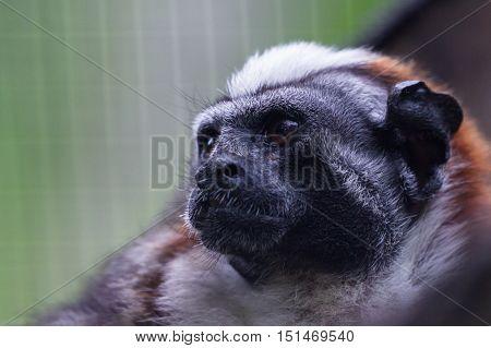 Small Captured Monkey