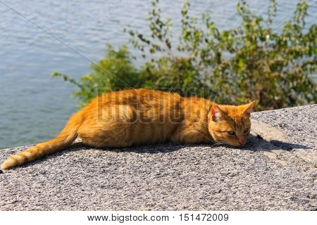 The young ginger cat on the riverbank