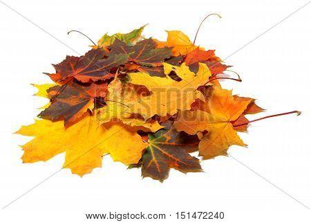 Pile Of Autumn Multi Colored Maple Leaves