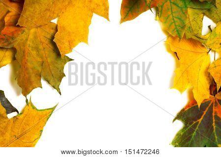 Autumn Multicolor Dried Maple Leaves