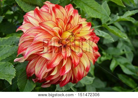 colorful dahlia in the garden with leafes