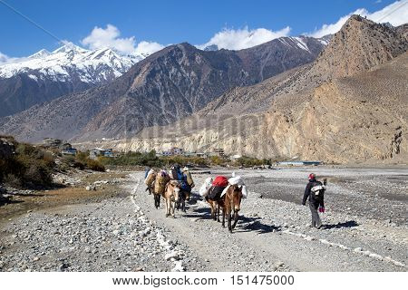 Jomsom, Nepal - November 3, 2014: Group of donkeys carrying luggage and a female hiker on the Annapurna Circuit