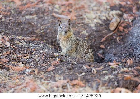 California Ground Squirrel (Otospermophilus beecheyi) peeking out from its burrow, with autumn leaves background