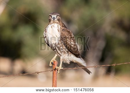 Red-tailed Hawk (Buteo jamaicensis) juvenile perched on a wire fence. Ed R. Levin County Park, Milpitas, California, USA.