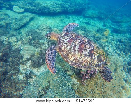 Sea turtle in blue water. Green sea turtle diving near sea bottom. Sea tortoise. Green turtle swims in sea. Snorkeling with turtle in lagoon. Aquatic image for card banner template with text place