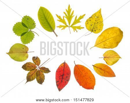 bright beautiful translucent multicolored autumn leaves arranged with the transition of color isolated on white background