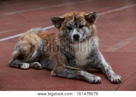 dog breed Akita Inu is lying on the floor
