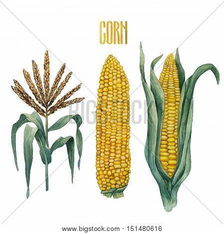 Watercolor corn collection isolated on white background. Traditional Thanks Giving Day food.