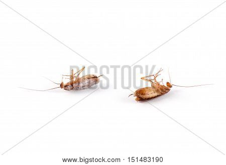 Single dead cockroach isolated on white background