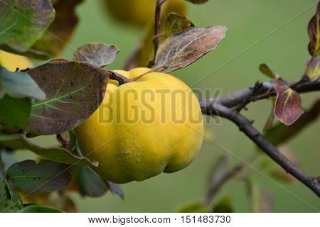 Ripe healthy organic quince on branch with leaves in autumn colors close up view