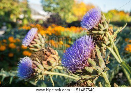 Purple Artichoke flowers growing in the garden