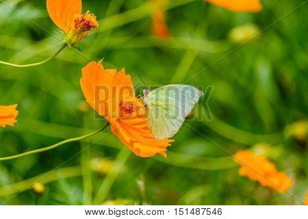 Beautiful Gulf Fritillary butterfly posed on a yellow flower feeding
