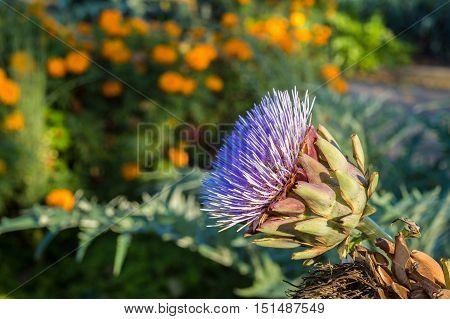 Purple Artichoke flower growing in the garden