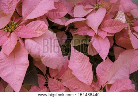 Bright pink poinsettia or christmas flower background