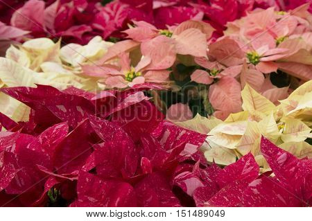 Bright red and pink poinsettia or christmas flower background