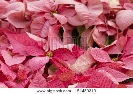 Bright red poinsettia or christmas flower background