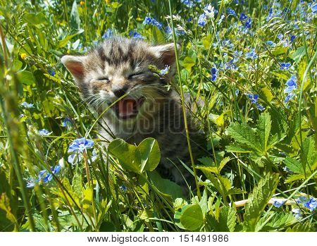 a mnau of little disobedient kitty in grass