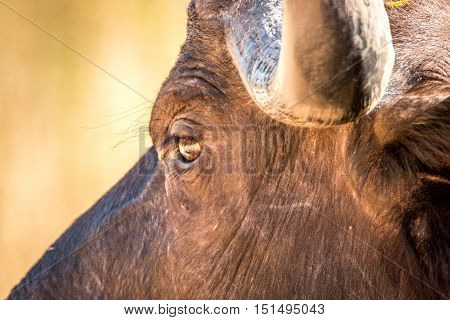 Close Up Of The Eye Of An African Buffalo.