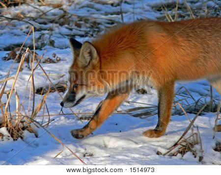 Red Fox 23