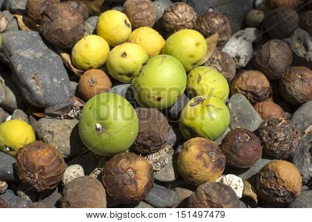 Closeup of ripe and rotten fruit of poisonous manchineel tree fallen on ground in Caribbean island of Isla Culebra