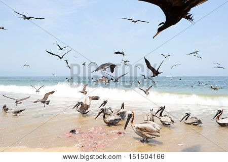 Birds flying is a large flock of seabirds flying and feeding on the beach.