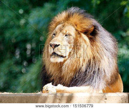 Male lion, king of the jungle, posing
