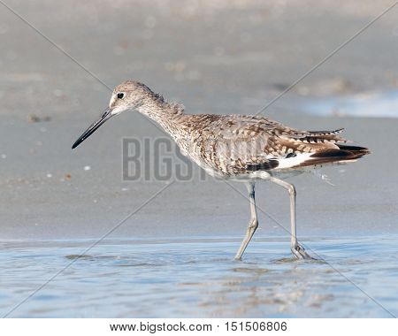 Spotted sandpiper bird hunting for food in the shallow water of a tidal pool at the beach