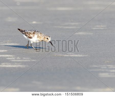 Piping plover bird hunting for food on the sand at the beach