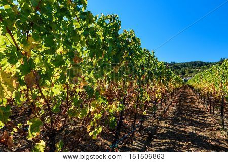 Rows Of Harvested Grape Vines In The Sun